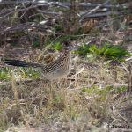 5760 Greater Roadrunner (Geococcyx californianus), Bosque del Apache NWR, New Mexico
