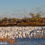 5766 Snow Geese (Chen caerulescens), Bosque del Apache NWR, New Mexico
