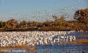 5766 Snow Geese (Chen caerulescens), Bosque del Apache NWR, New Mexico