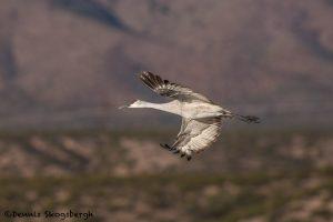 5771 Sandhill Crane (Grus canadensis), Bosque del Apache NWR, New Mexico