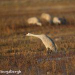 5772 Pre-flight Posture, Sandhill Crane (Grus canadensis), Bosque del Apache NWR, New Mexico