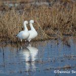5780 Snow Geese (Chen caerulescens), Bosque del Apache NWR, New Mexico