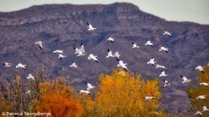 5781 Snow Geese (Chen caerulescens), Bosque de Aapache NWR, New Mexico