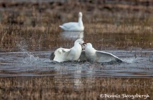 5782 Snow Geese, Territorial Fight, Bosque del Apache NWR, New Mexico