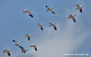 5788 Snow/Ross's Geese, Bosque del Apache NWR, New Mexico