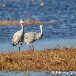 5789 Sandhill Cranes (Grus canadensis), Bosque del Apache NWR, New Mexico