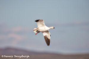 5792 Snow Goose (Chen caerulescens), Bosque del Apache NWR, New Mexico
