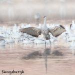 5794 Sandhill Crane (Grus canadensis), Bosque del Apache NWR, New Mexico