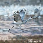 5795 Sandhill Crane (Grus canadensis), Bosque del Apache NWR, New Mexico