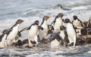 5797 Rockhopper Penguins [Eudyptes (chrysocome) filholi], Returning From Fishing, Saunders Island, Falklands
