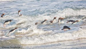5798 Gentoo Penguins Returning From Fishing, Saunders Island, Falklands