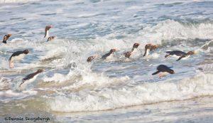 5798 Rockhopper Penguins [Eudyptes (chrysocome) filholi] Returning From Fishing, Saunders Island, Falklands
