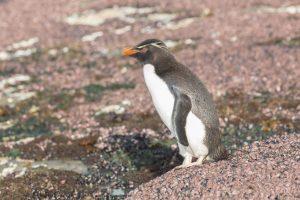 5799 Gentoo Penguin, Saunders Island, Falklands
