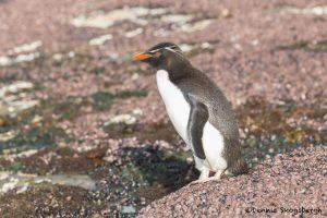 5799 Rockhopper Penguin [Eudyptes (chrysocome) filholi], Saunders Island Falklands