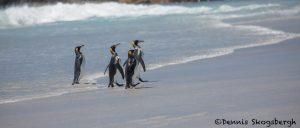 5800 King Penguins, Volunteer Point, Falkland Islands