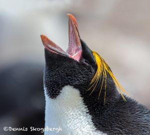 5803 Macaroni Penguin, (Eudyptes chrysolophus), Saunders Island, Falklands