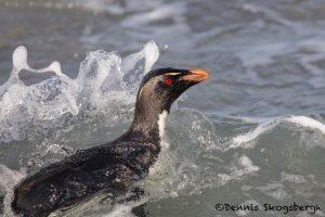 5805 Rockhopper Penguin [Eudyptes (chrysocome) filholi, Saunders Island, Falklands