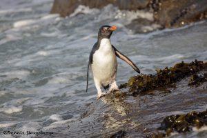 5806 Rockhopper Penguin [Eudyptes (chrysocome) filholi, Saunders Island, Falklands