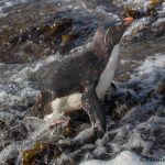 5807 Rockhopper Penguin [Eudyptes (chrysocome) filholi, Saunders Island, Falklands