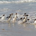 5808 Rockhopper Penguin [Eudyptes (chrysocome) filholi], Saunders Island, Falklands