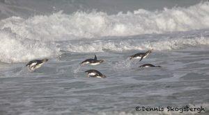 5809 Rockhopper Penguins [Eudyptes (chrysocome) filholi], Saunders Island, Falklands