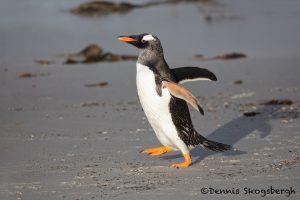 5810 Long-tailed Gentoo Penguin (Pygoscelis papua), Saunders Island, Falklands