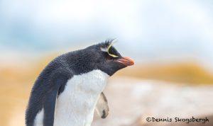 5811 Rockhopper Penguin [Eudyptes (chrysocome) filholi], Saunders Island. Falklands