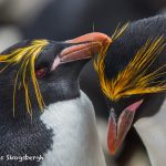 5813 Macaroni Penguin (Eudyptes chrysolophus), Saunders Island, Falklands