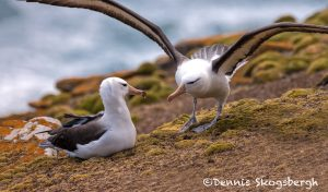 5816 Black-browed Albatross Pair (Thalassarche melanophris), Saunders Island, Falklands