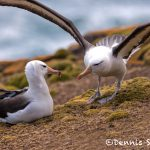 5816 Black-browed Albatross Pair (Thalassarche melanophris), Saunders Island, Falklands