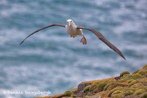 5817 Black-browed Albatross (Thalassarche melanophris), Saunders Island, Falklands