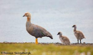 5821 Female Upland Goose and Chicks (Chloephaga picta), Bleaker Island, Falklands