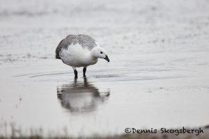 5824 Male Upland Goose (Chloeohaga picta), Bleaker Island, Falklands