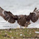 5826 Brown Skua (Catharacta antarctica), Bleaker Island, Falklands