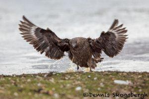 5826 Brown Skua (Stercorarius antarcticus), Bleaker Island, Falklands