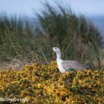 5828 Male Upland Goose (Chloeohaga picta), Bleaker Island, Falklands