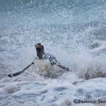5829 Gentoo Penguin (Pygoscelis papua), Bleaker Island, Falklands