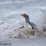 5830 Gentoo Penguin (Pygoscelis papua), Bleaker Island, Falklands