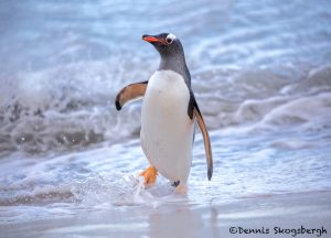 5831 Gentoo Penguin (Pygoscelis papua), Bleaker Island, Falklands
