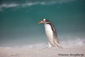 5832 Heavy Winds, Gentoo Penguin (Pygoscelis papua), Bleaker Island, Falklands