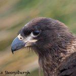 5835 Striated Caracara (Phalcoboenus australis), Bleaker Island, Falklands