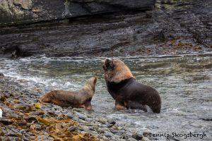 5840 South American Sea Lion (Otaria flavescens), Bleaker Island Falklands