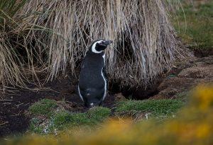 5842 Magellanic Penguin (Spheniscus magellanicus), Bleaker Island, Falklands