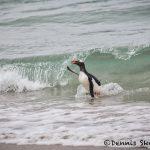 5846 Gentoo Penguin (Pygoscelis papua), Bleaker Island, Falklands