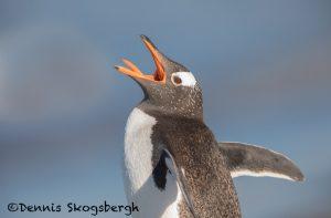 5847 Gentoo Penguin (Pygoscelis papua), Sea Lion Island-falklands