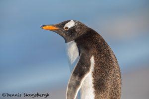 5848 Gentoo Penguin (Pygoscelis papua), Sea Lion Island, Falklands
