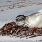 5851 Southern Elephant Seal Weaner, (Mirounga leonine), Sea Lion Island, Falklands