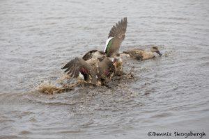 5852 Territorial Squabble, Crested Ducks, Sea Lion Island, Falklands