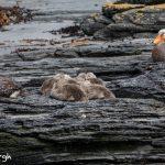 5853 Falkland Steamer Ducks (Tachyeres brachypterus), Sea Lion Island, Falklands