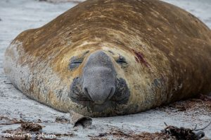 5854 Male Southern Elephant Seal (Mirounga leonina), Sea Lion Island, Falklands